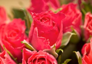 Red roses (close-up)